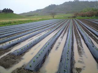 畑に溜まる雨水
